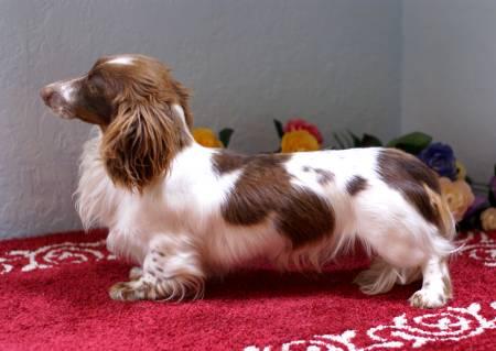 Mini Short Haired Dachshund Puppy Daschund For Sale Australia For ...