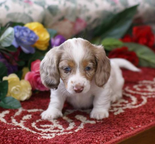 MGM DACHSHUNDS PAST SOLD PUPPIES, DACHSHUND BREEDER