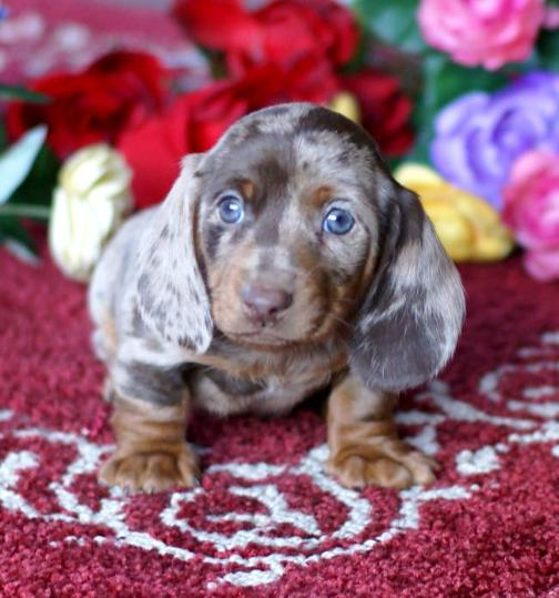 MGM DACHSHUNDS PAST SOLD PUPPIES, DACHSHUND BREEDER, DACHSHUND