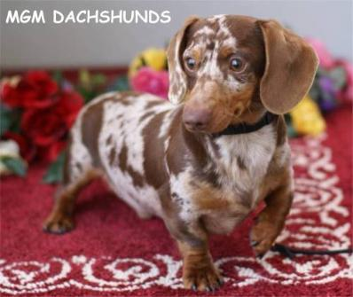 Short Haired Dapple Dachshund
