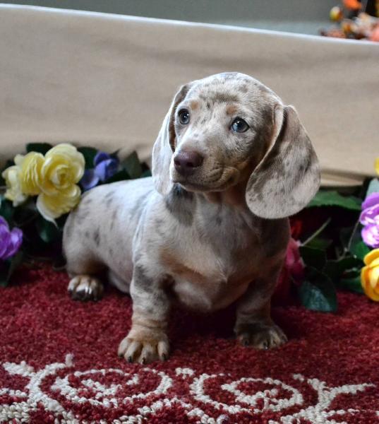 Mini Dachshund Puppies For Sale Black Tandoxie Breeder Short Hair Pups